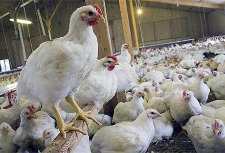 مرغ هم به سرنوشت تخم مرغ دچار میشود